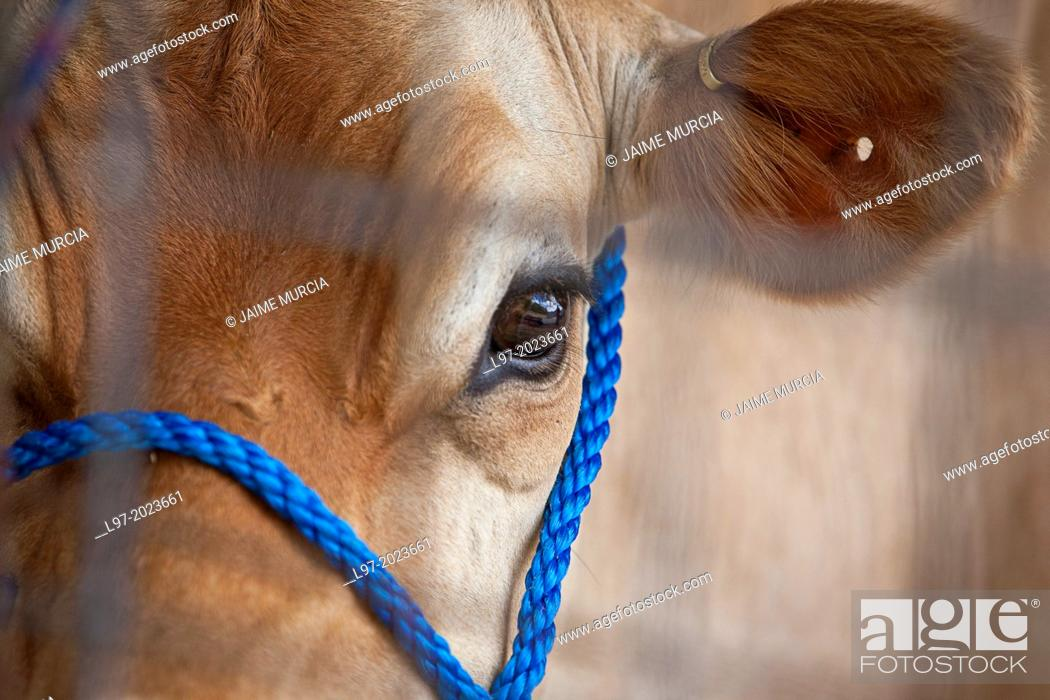 Stock Photo: Close up of face of a jersey cow, south Gippsland, Victoria state Australia.