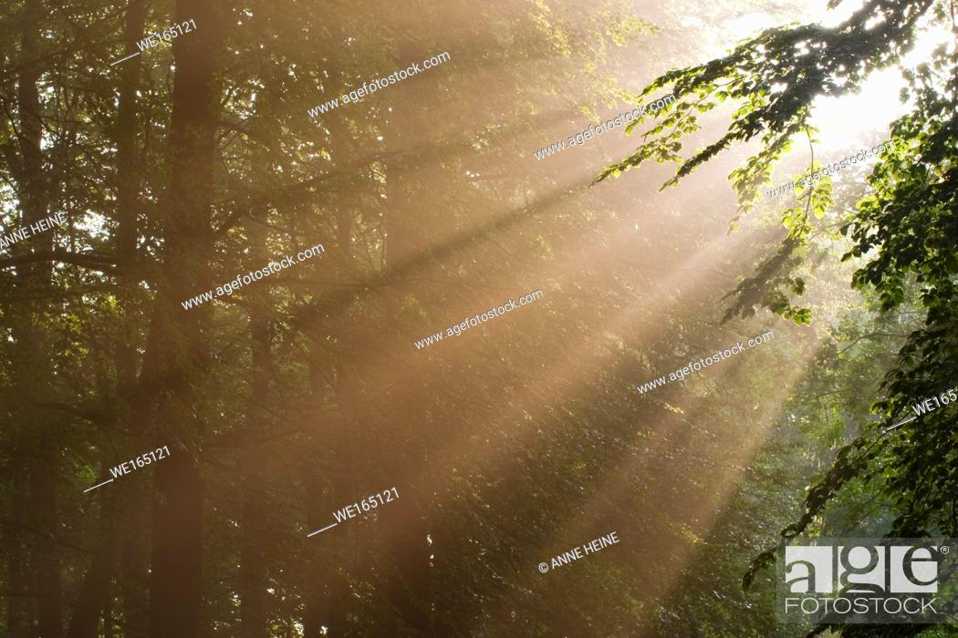 Stock Photo: Sunbeams shining through forest trees. As seen in Belecke, Arnsberger Wald, Sauerland, Germany.