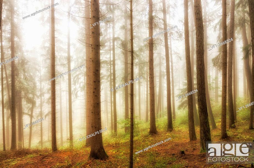 Photo de stock: italy, trentino Alto Adige, Non valley, fog in forest.