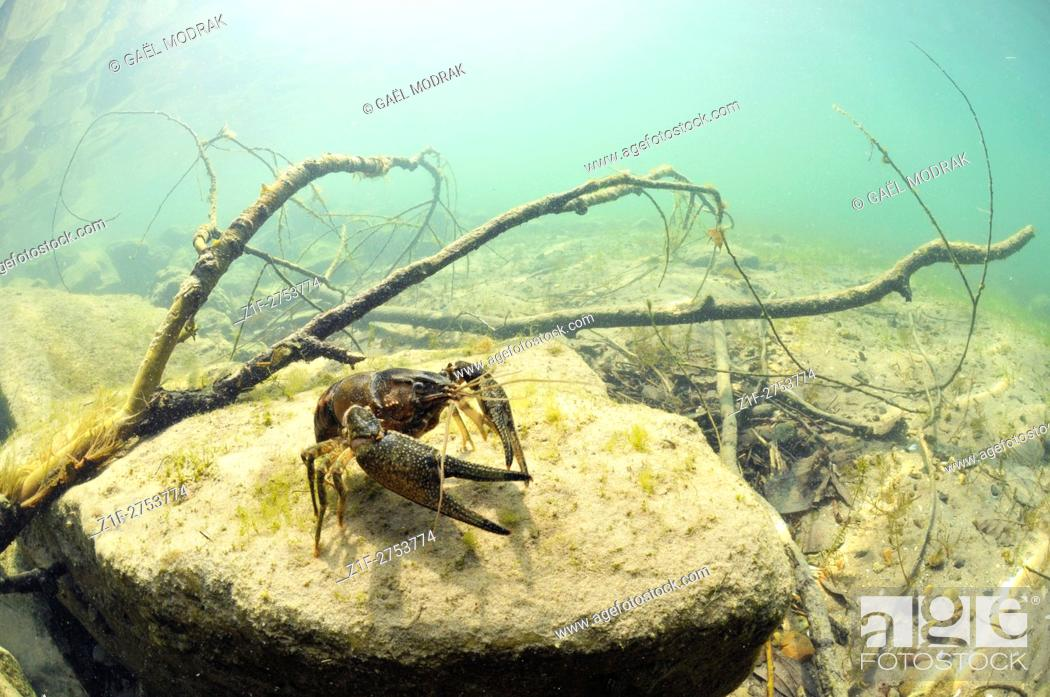 Stock Photo: American crayfish introduced by man in a piece of water in France. Orconectes limosus.