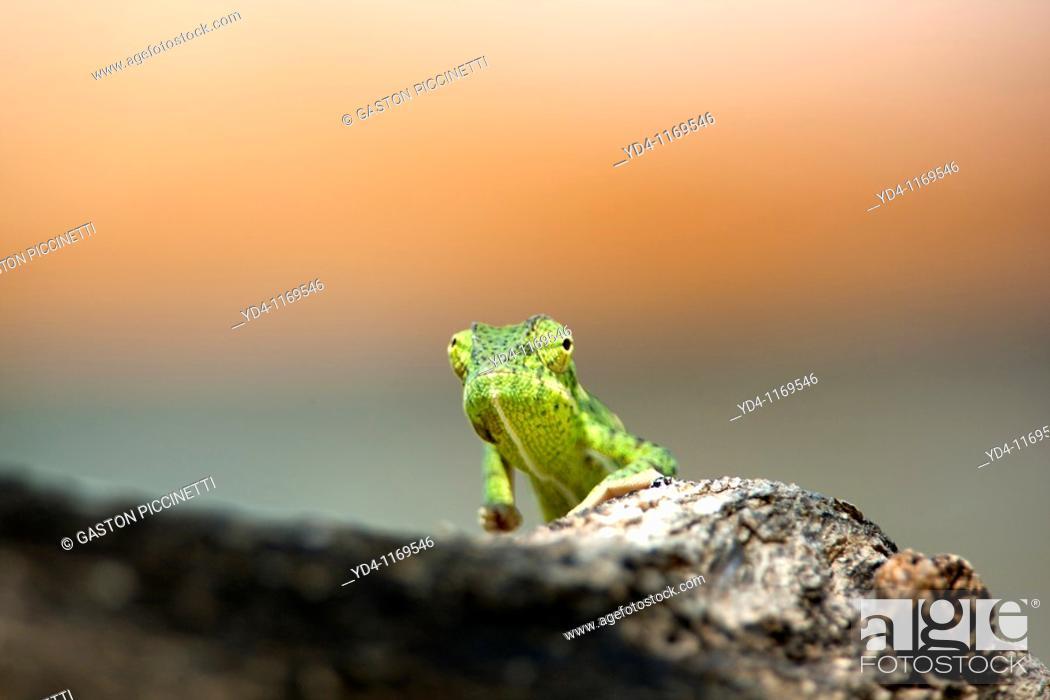 Stock Photo: Common Chameleon Chamaeleo chamaeleon, walking along a Camelthorn branch tree Acacia erioloba, Etosha National Park, Namibia.