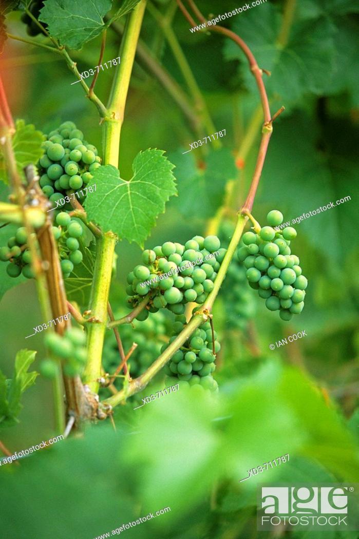Stock Photo: Leon Millot grapes (early ripening red).Saltspring Vineyards. Saltspring Island. Gulf Islands, British Columbia, Canada.