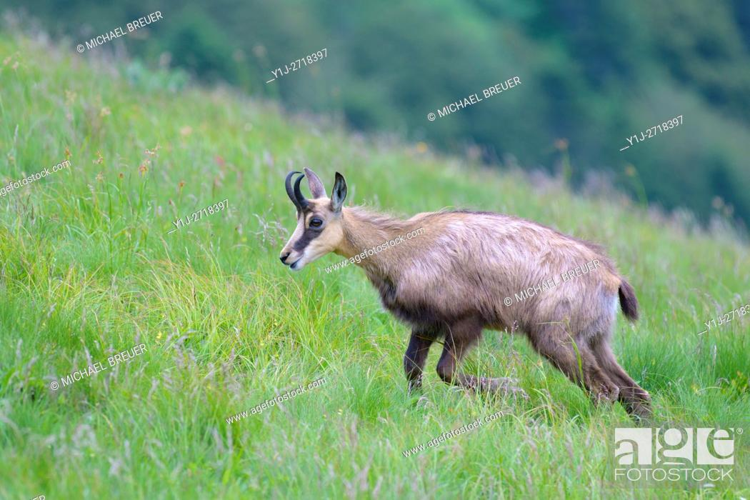 Stock Photo: Chamois (Rupicapra rupicapra), Hohneck, Vosges, Alsace, France, Europe.