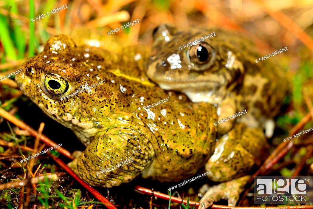 Stock Photo: Iberian spadefoot toad (Pelobates cultripes) and natterjack toad (Epidalea calamita) in Valdemanco, Madrid, Spain.