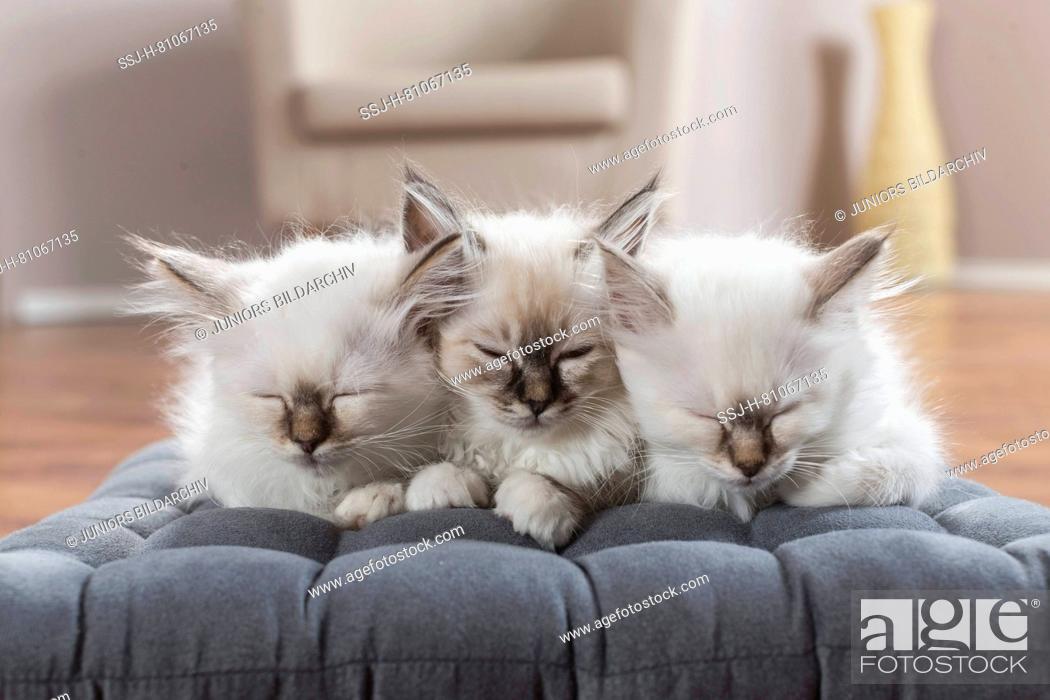 Stock Photo: Sacred cat of Burma. Three kittens sleeping on a cushion. Germany.