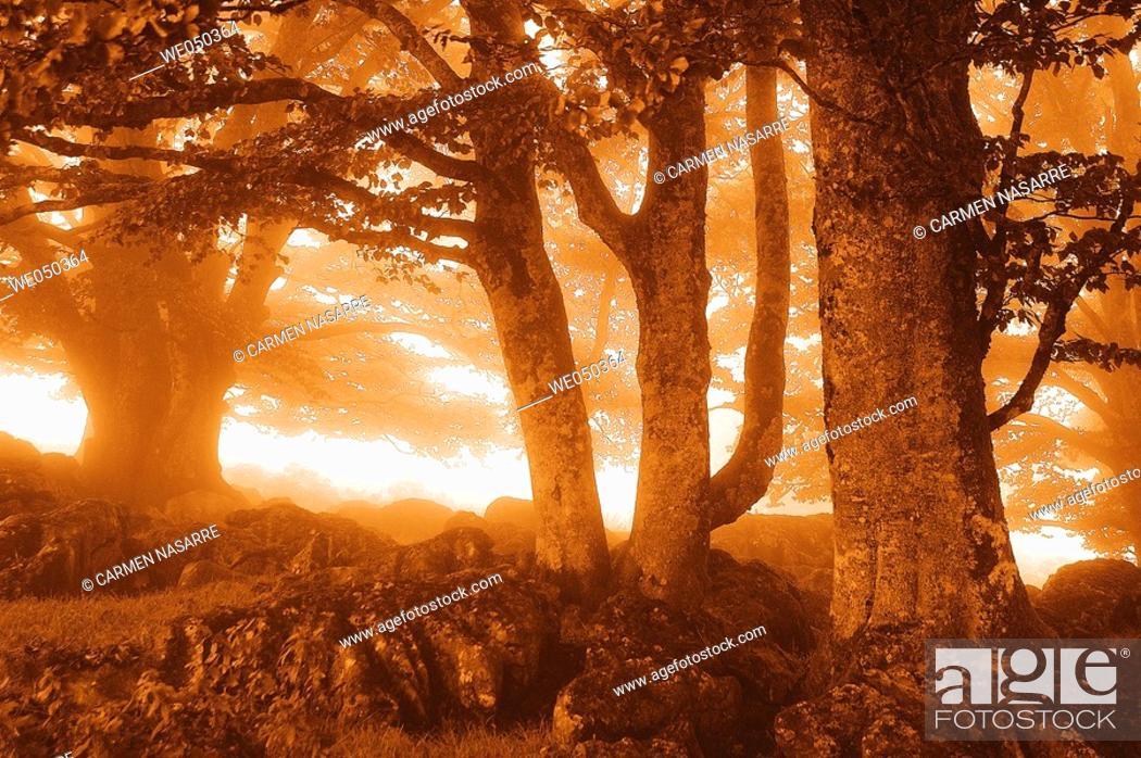 Stock Photo: Beech forest. Midi Pyrénées. France.