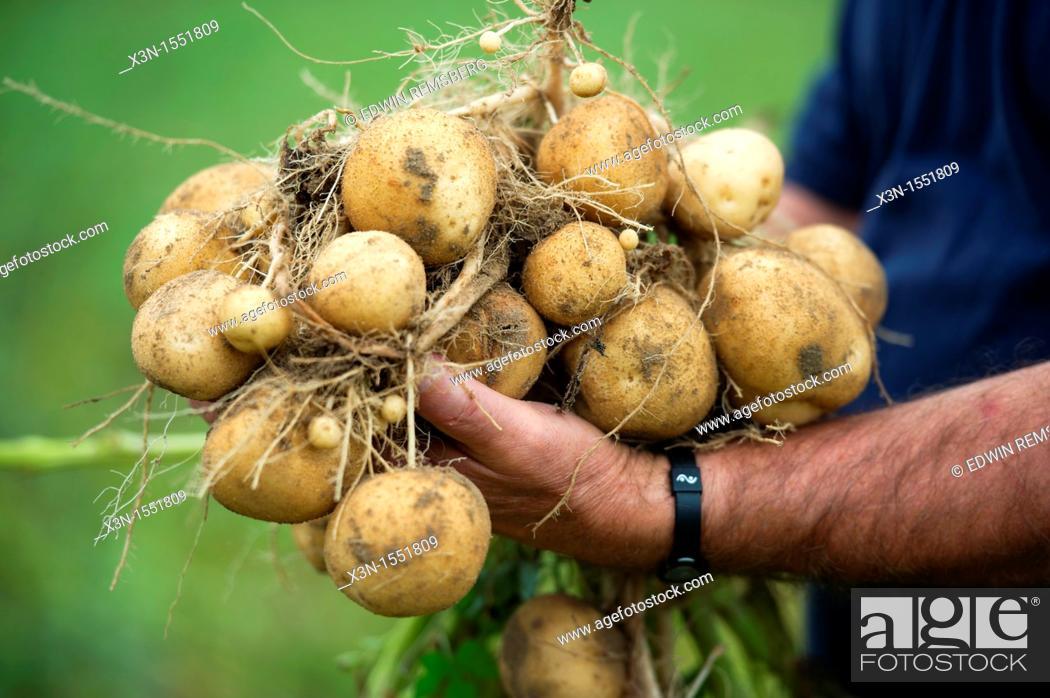 Stock Photo: Man holding pile of fresh harvested potatoes.