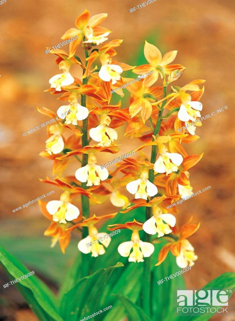 Stock Photo: orchid.