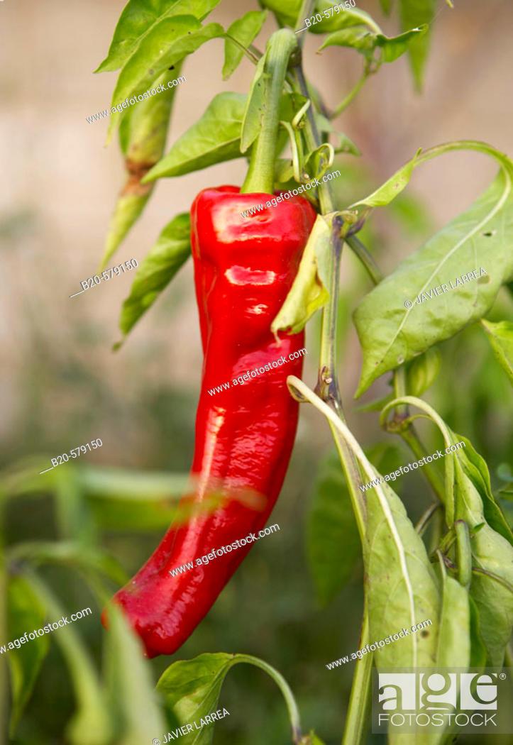 Stock Photo: Pepper. Near Estella, Navarra, Spain.
