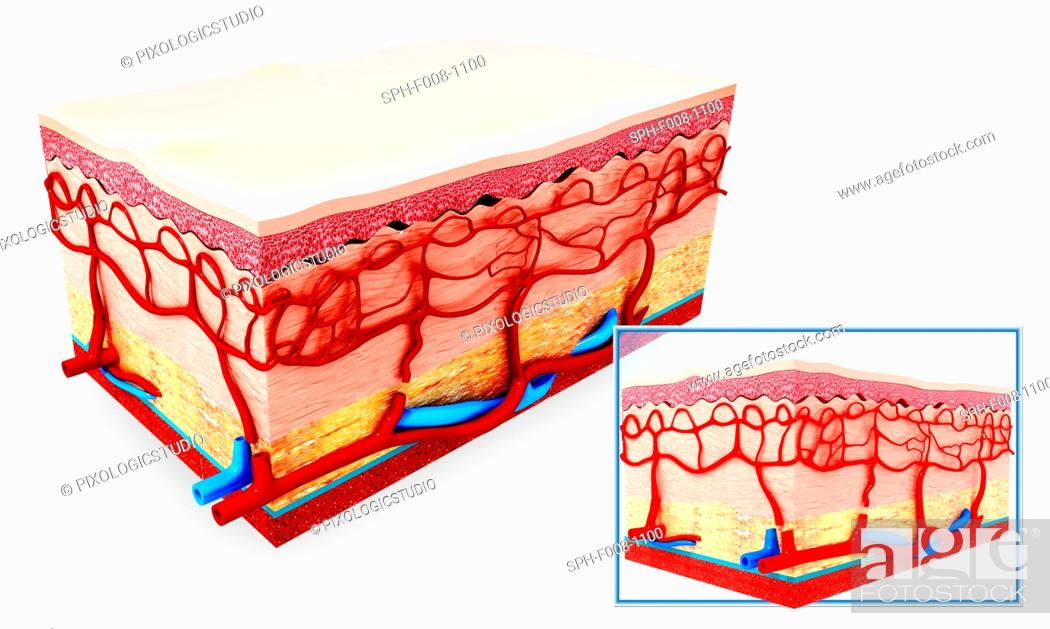 Human Skin Anatomy Computer Artwork Stock Photo Picture And