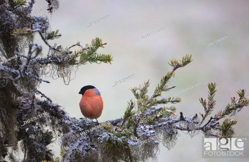 Stock Photo: Eurasian bullfinch, Pyrrhula pyrrhula, sitting in a spruce tree with frost and lichen, Gällivare, Swedish Lapland, Sweden.