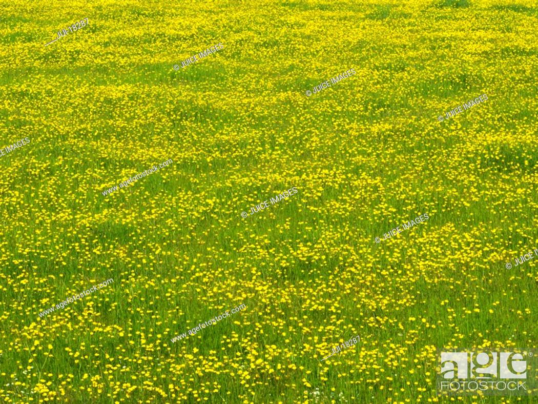 Stock Photo: Field of yellow buttercup flowers.