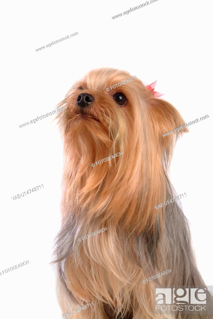 Stock Photo: yorkie, yorkshire terrier, yorky, terrier, yorkshire, domestic, dog.