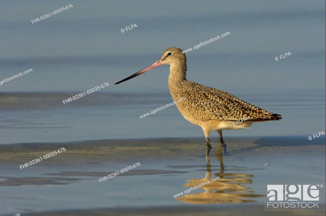 Stock Photo: Marbled Godwit Limosa fedoa adult, standing in shallow water, Florida, U S A.