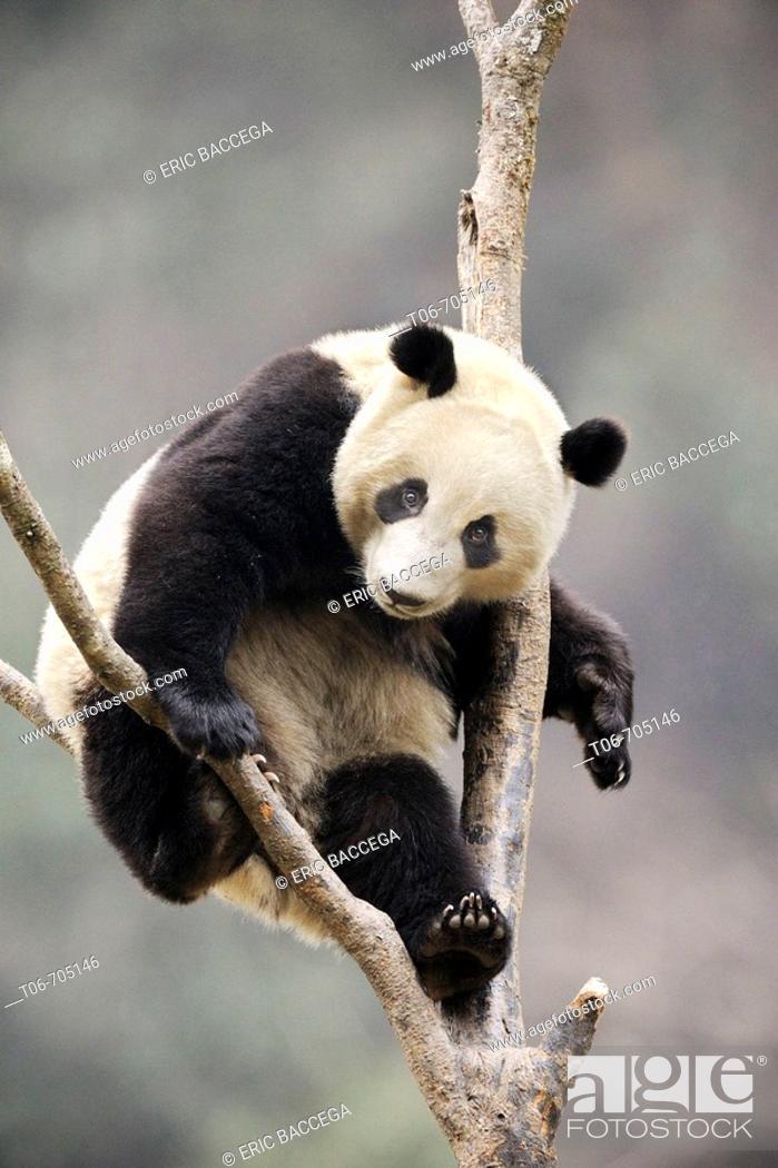 Stock Photo: Subadult giant panda climbing in a tree (Ailuropoda melanoleuca) Wolong Nature Reserve, China.