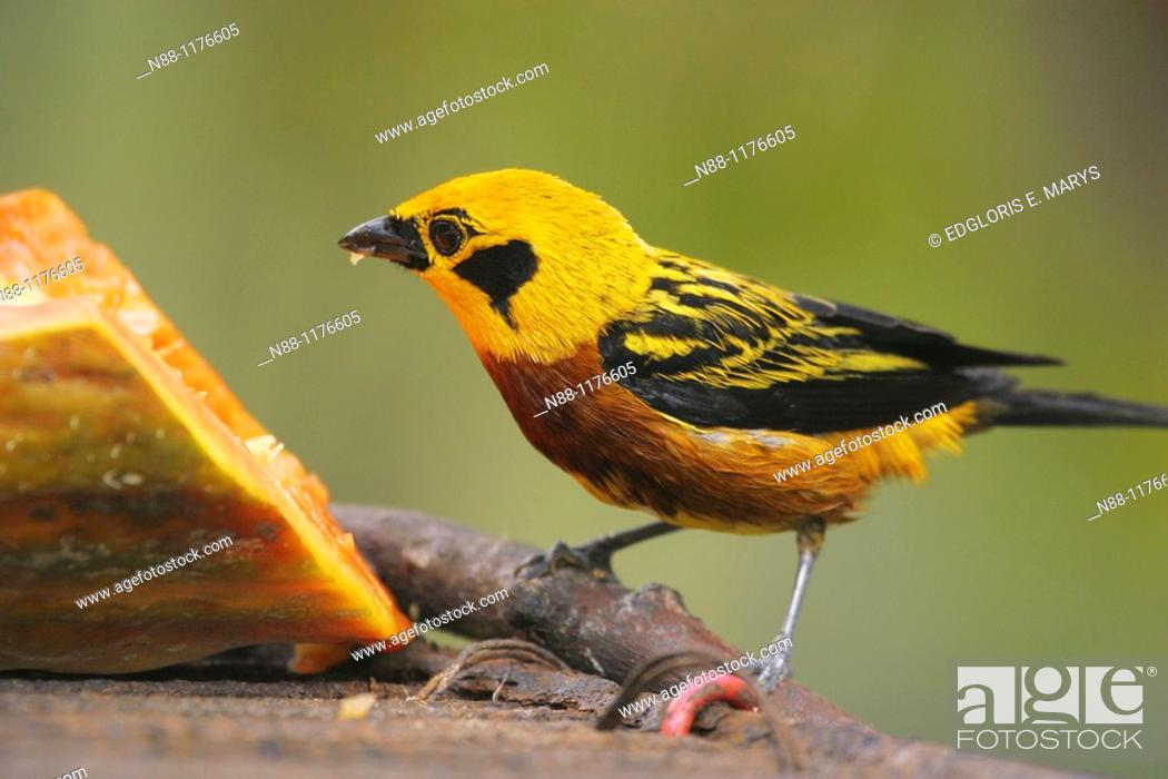 Stock Photo: Golden Tanager, Tangara dorada, Tangara arthus arthus, Biological Station of Rancho Grande, Henri Pittier National Park, Aragua, Venezuela.