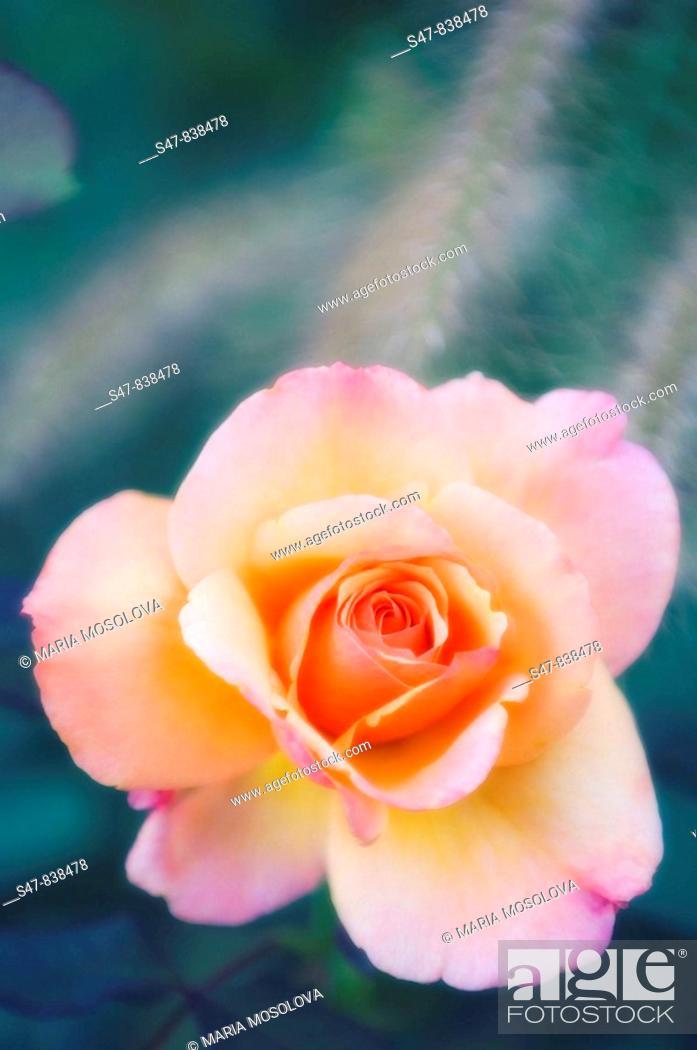 Stock Photo: Peach Colored Rose Flower. Rosa hybrid.