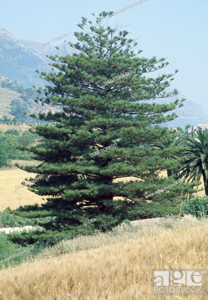 Stock Photo: Araucaria, Araucariaceae.