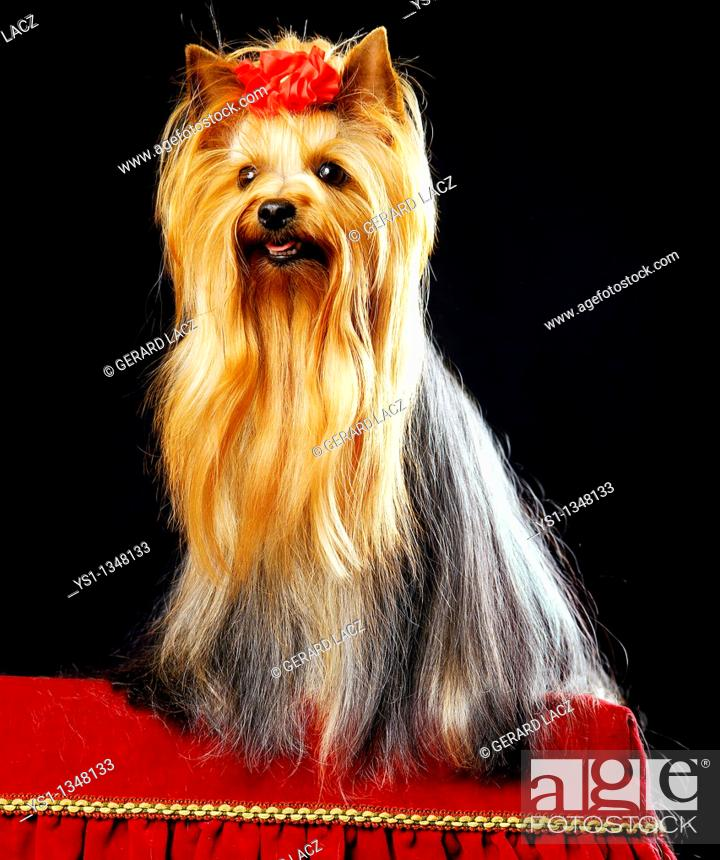 Stock Photo: YORKSHIRE TERRIER, ADULT WELL BRUSHED BEFORE DOG COMPETITION.