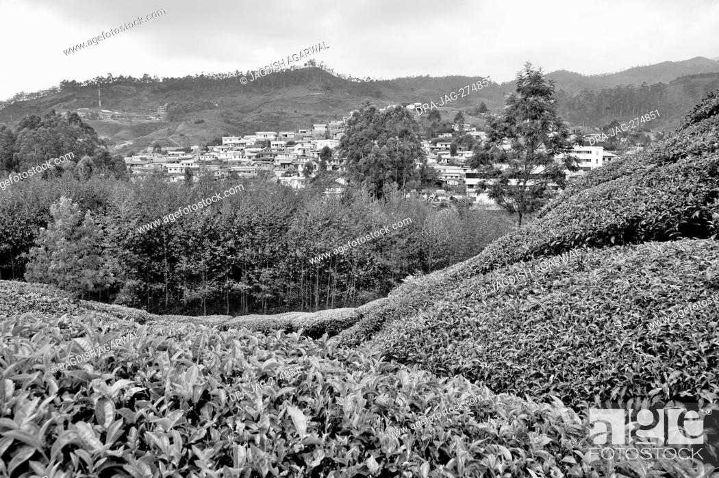 Imagen: Tea plantations, Munnar, Idukki, Kerala, India, Asia.