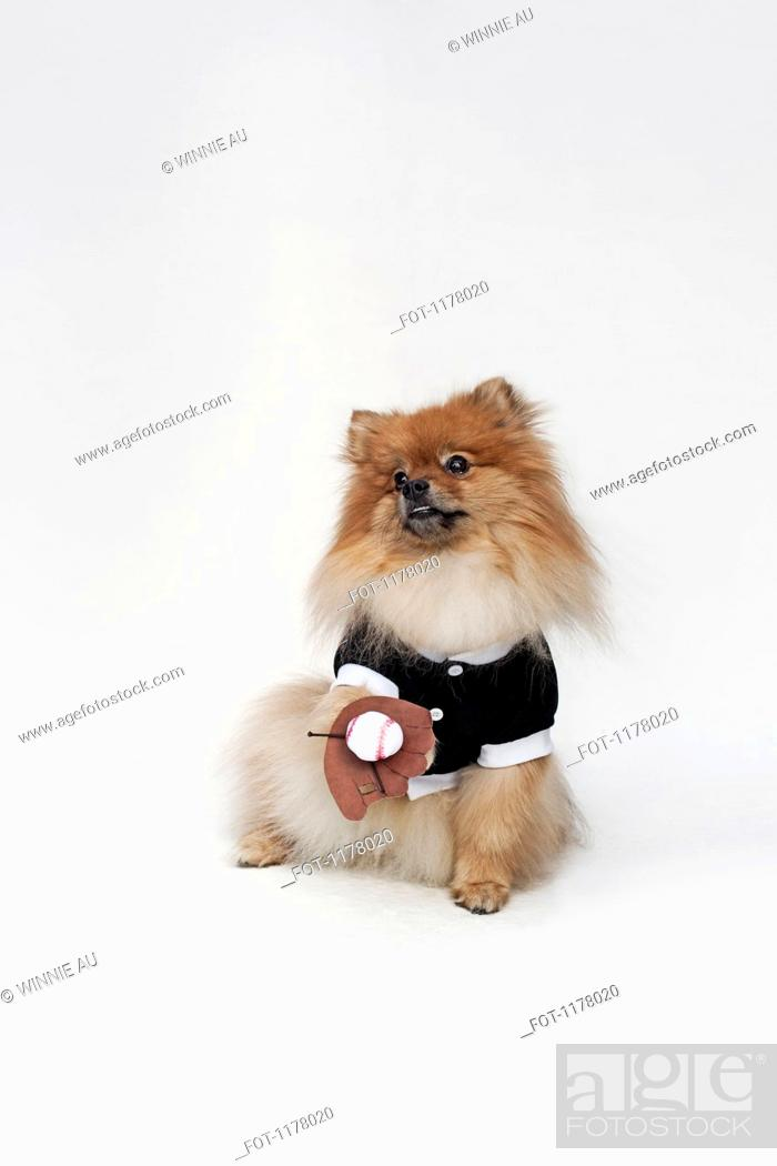 Stock Photo: A Pomeranian dressed in a baseball costume with a baseball glove and ball.