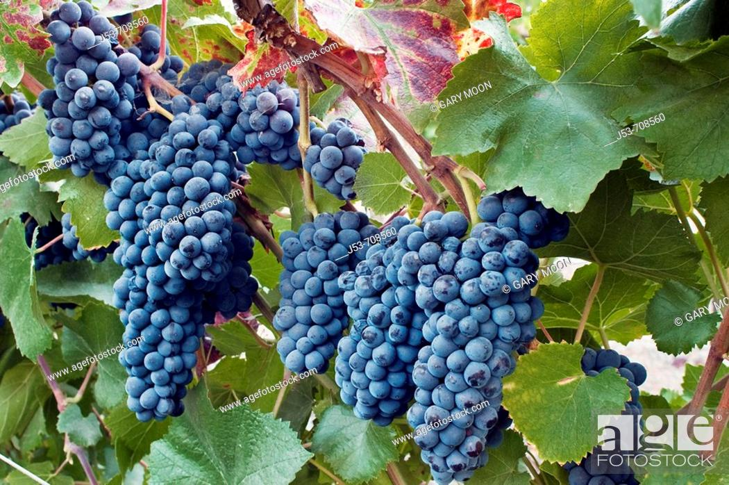 Stock Photo: Wine grapes, Napa Valley, California.