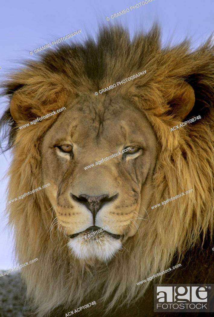 Stock Photo: Male African Lion, Panthera leo.