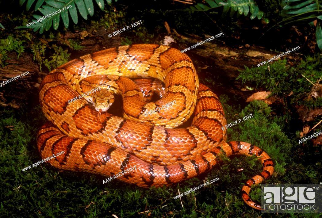 Red Rat Snake aka Corn Snake (Elaphe guttata guttata), New