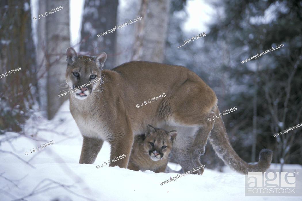 977cf9875e94 Stock Photo - Mountain Lion