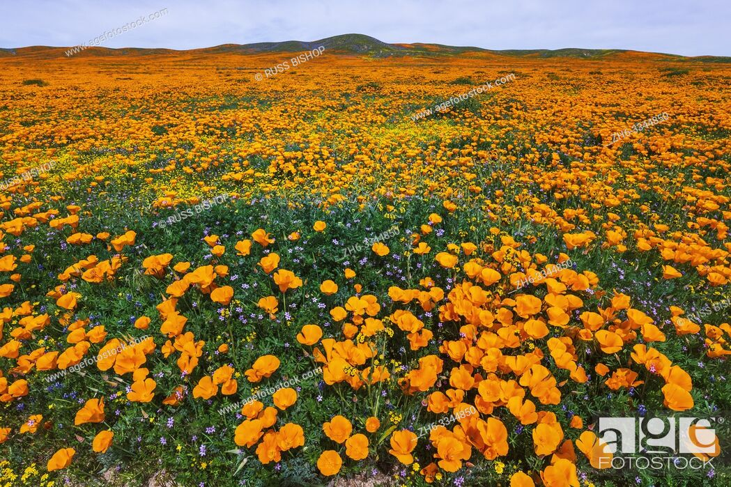 Imagen: California Poppies (Eschscholzia californica) and Goldfield (Lasthenia californica), Antelope Valley, California USA.