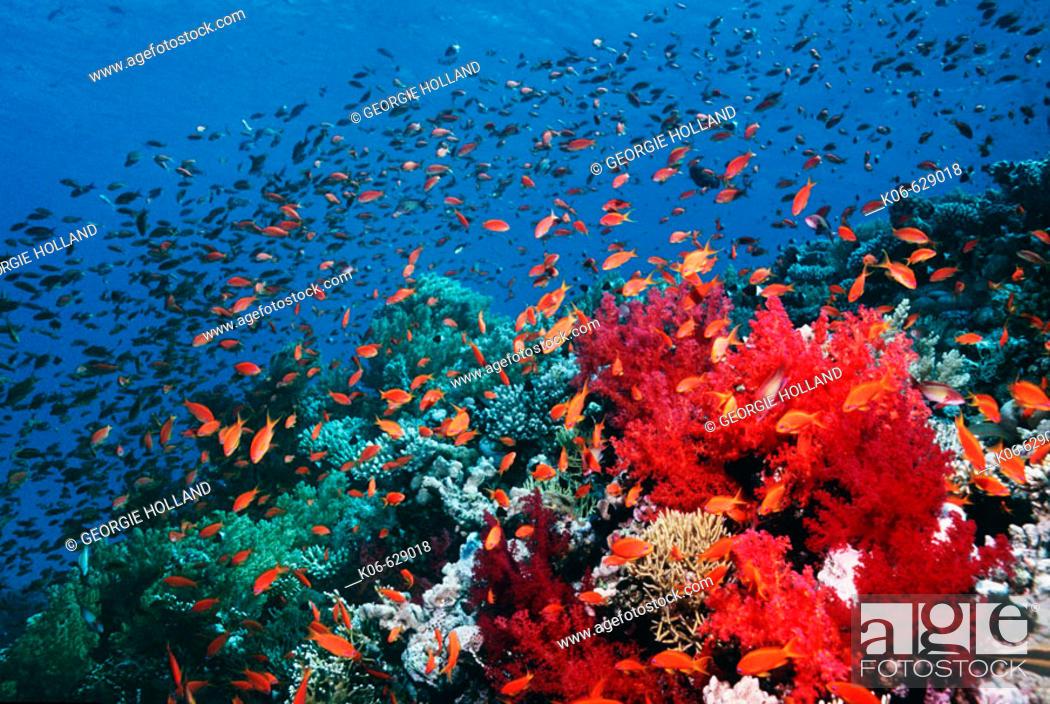 Stock Photo: Reef scenery with Lyretail anthias or Goldies (pseudanthias squamipinnis).  Red Sea, Egypt.