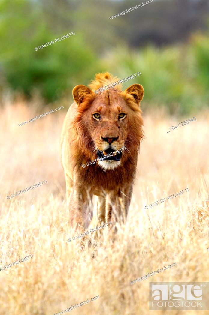 Stock Photo: African lion Panthera leo - Male, after eat, Kruger National Park, South Africa.