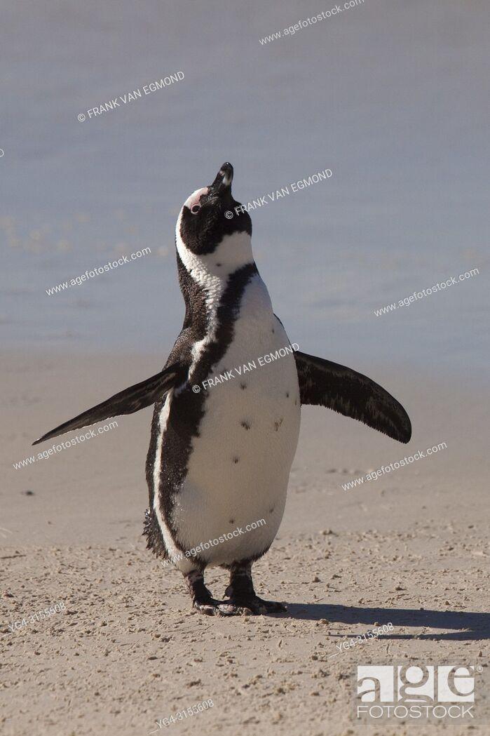 Stock Photo: Jackass Penguin on the Beach, Boulders Beach, South Africa.