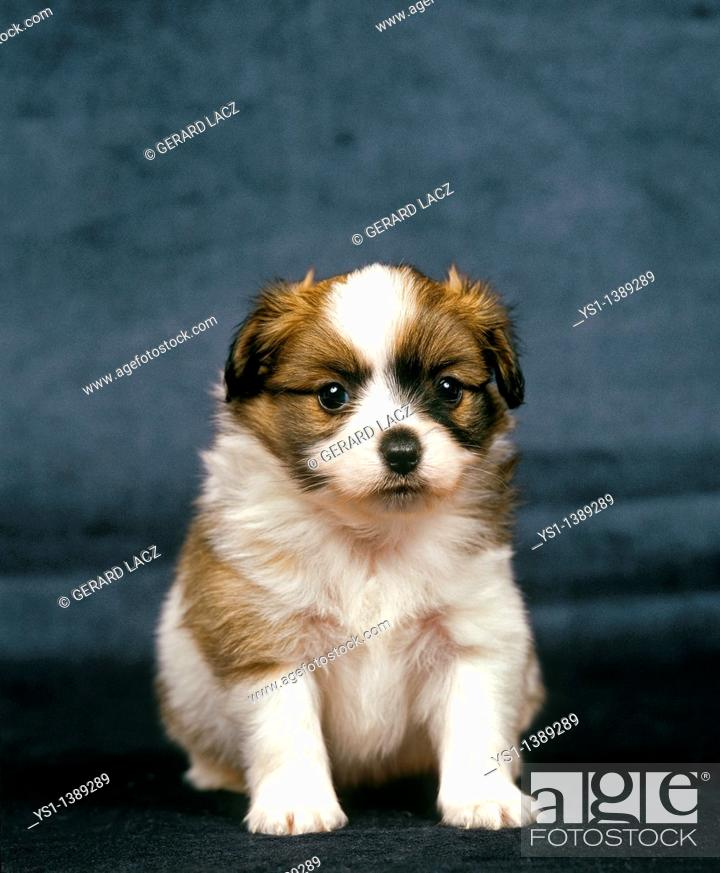 Stock Photo: Phalene Spaniel or Continental Toy Spaniel, Pup sitting.