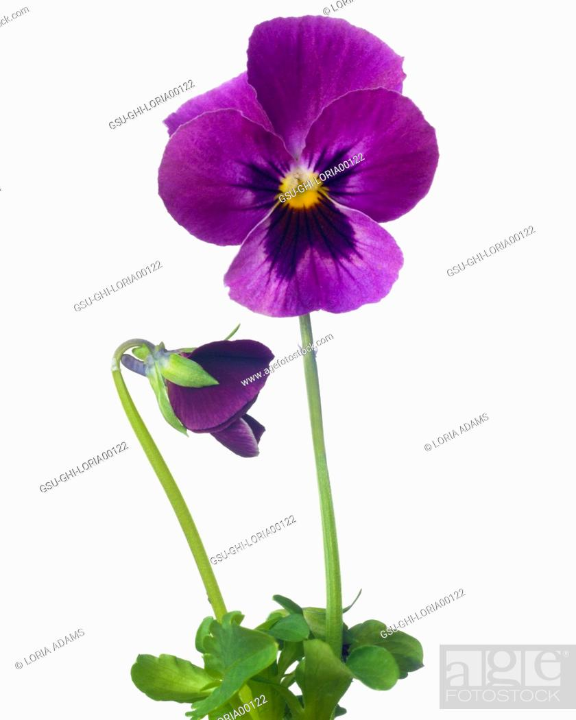 Stock Photo: Violet Pansy against White Background.
