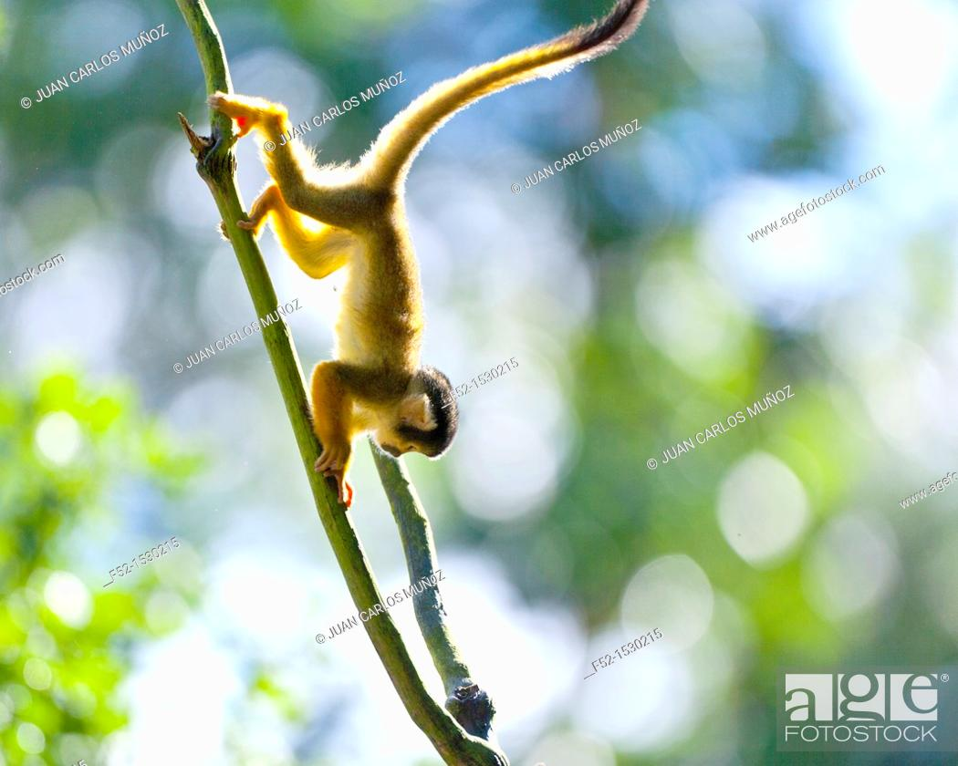 Stock Photo: Squirrel monkey (Saimiri sp.).
