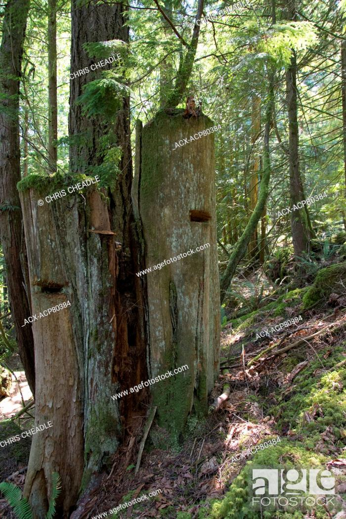 Stock Photo: Old time springboard slots in logged stumps,  Sunshine Coast, British Columbia, Canada.