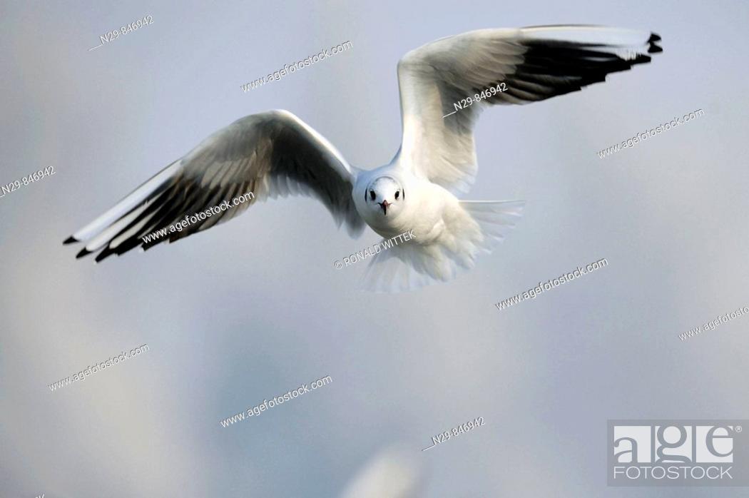 Stock Photo: Black-headed Gull  (Larus ridibundus).