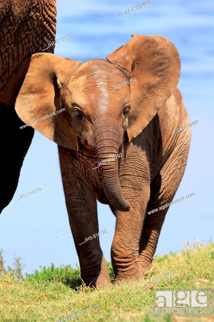 Stock Photo: African Elephant, (Loxodonta africana), young, Addo Elephant Nationalpark, Eastern Cape, South Africa, Africa.