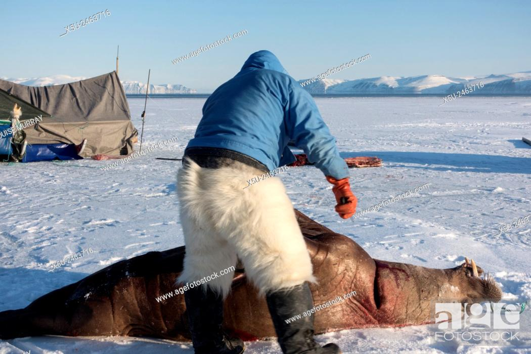 Stock Photo: Subsistence inuit hunter preparing to butcher a juvenile Atlantic walrus on the sea ice in spring. The meat will be eaten by both people and their dog teams.