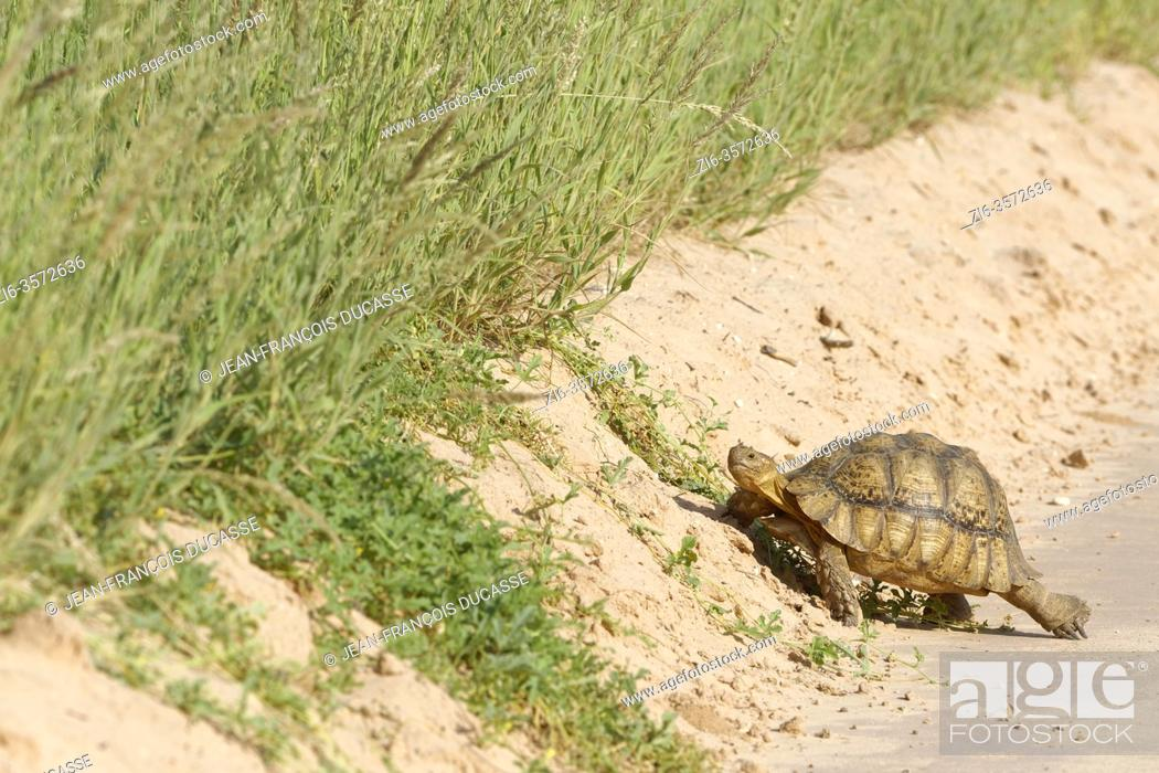Stock Photo: Leopard tortoise (Stigmochelys pardalis), adult, crossing the dirt road, Kgalagadi Transfrontier Park, Northern Cape, South Africa, Africa.