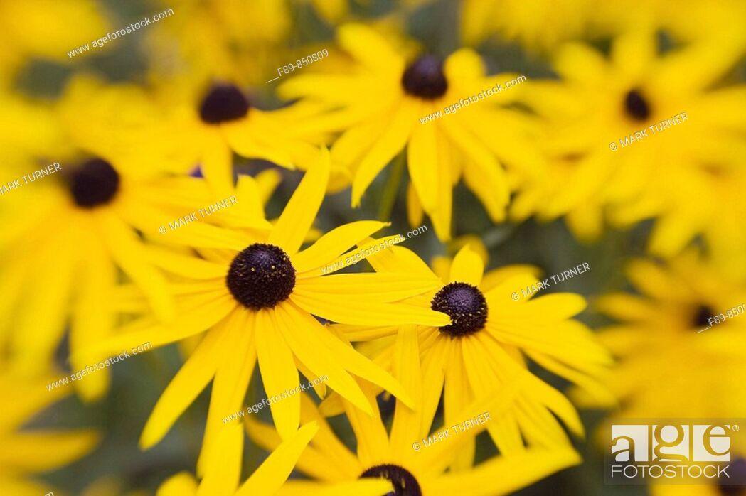 Stock Photo: 'Goldsturm' Black-eyed Susans soft focus effect Rudbeckia fulgida var sullivantii 'Goldsturm'.