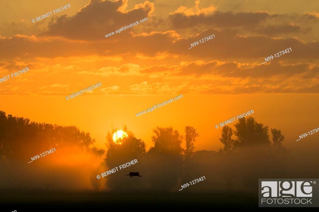 Stock Photo: Sunrise over river valley, flying White Stork, poplars, Ebrach, Franconia, Bavaria, Germany.