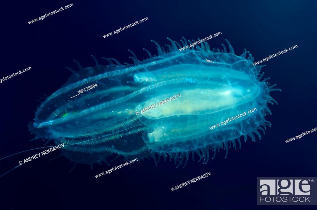 Stock Photo: Comb Jellies (Bolinopsis infundibulum) Bohol Sea, Philippines, Southeast Asia.