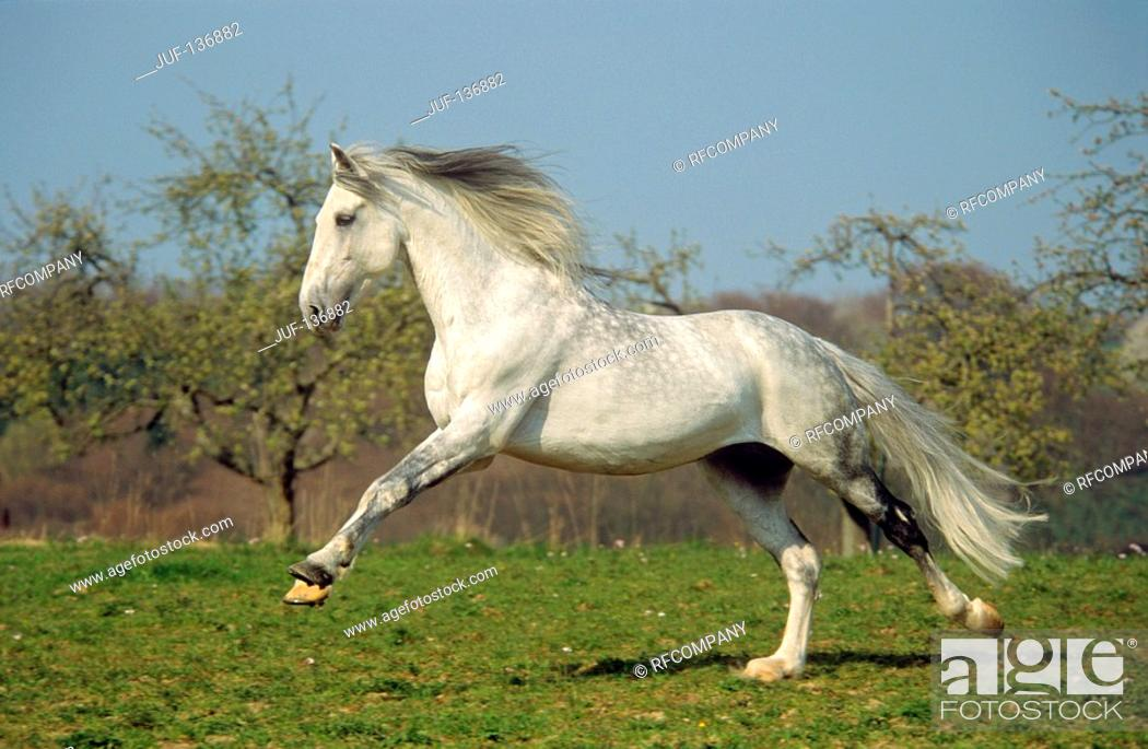 Stock Photo: Orlov trotter - galloping on meadow.