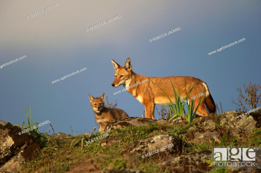 Stock Photo: Ethiopian wolf adult and pup scanning for danger.