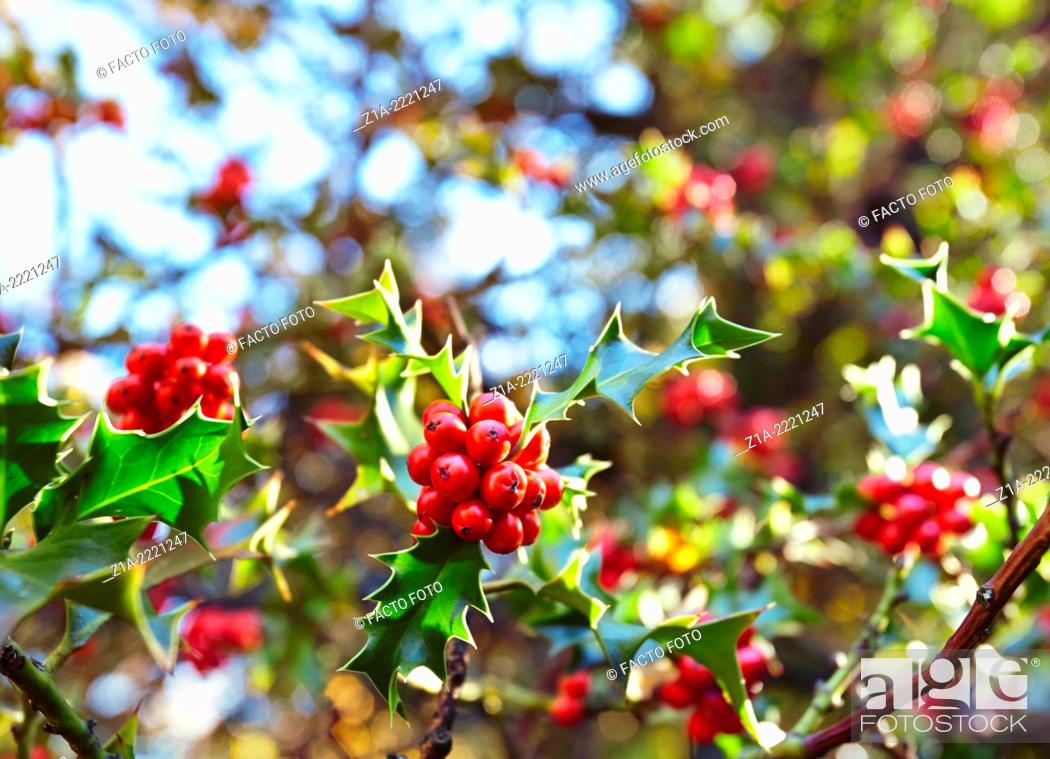 Stock Photo: Holly tree at the Royal Botanical Garden. Madrid. Spain.