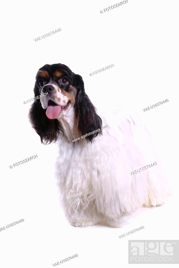 Stock Photo: house pet, domestic, cute, loving, canines, faithful, cocker spaniel.