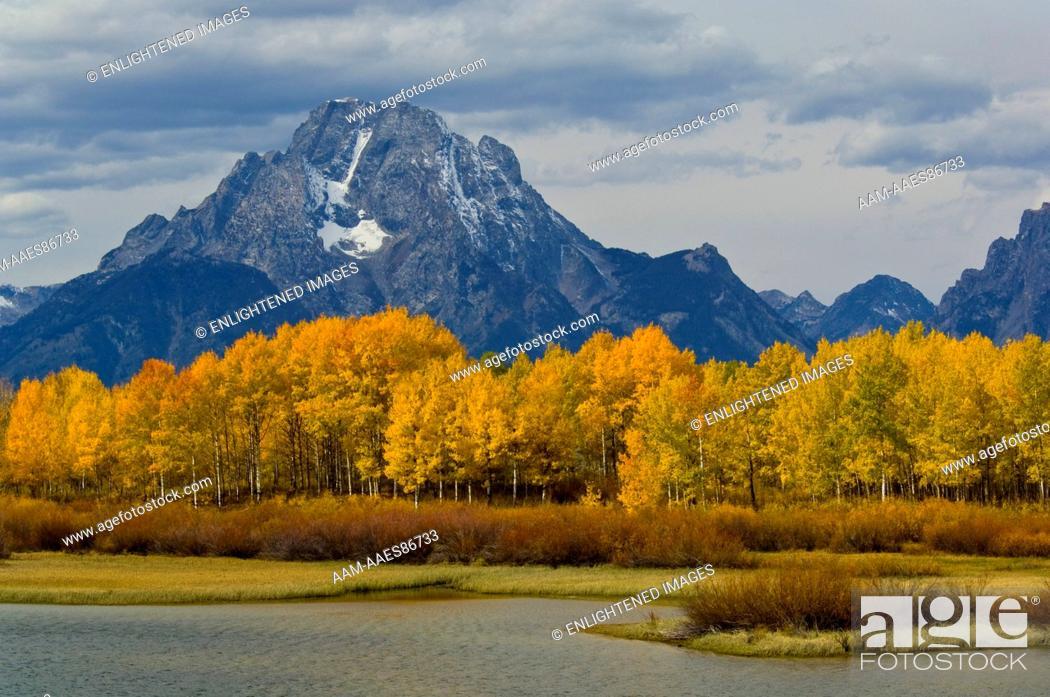 Stock Photo: Golden Aspen trees in autumn below Mount Moran, at Oxbow Bend, Grand Teton National Park, Wyoming.