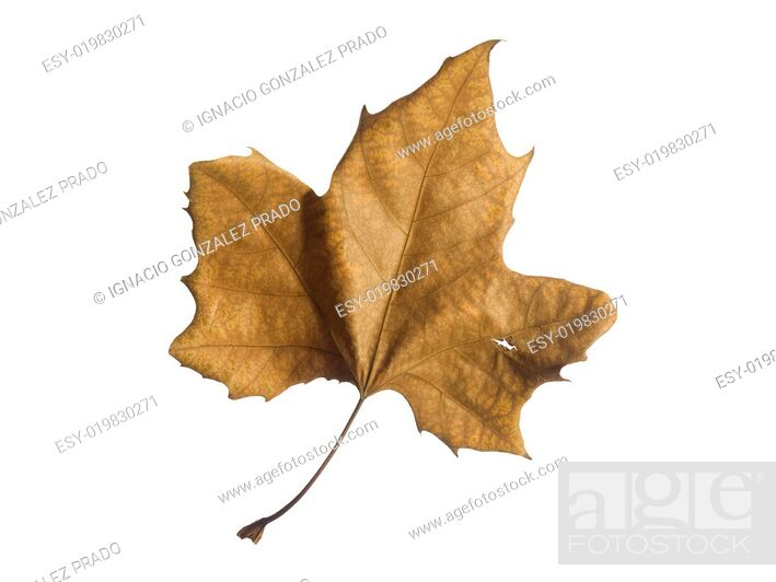 Stock Photo: Fall leaf.